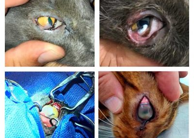 Cat with corneal ulcer and correction of the ulcer with a conjuntival flap.