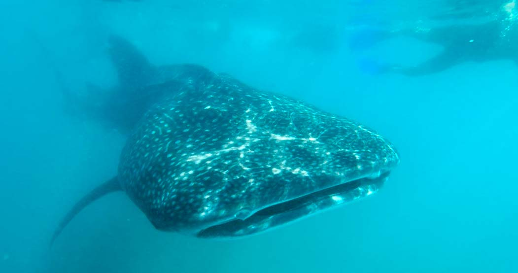 Swimming with Whale Sharks in La Paz, Baja, Mexico